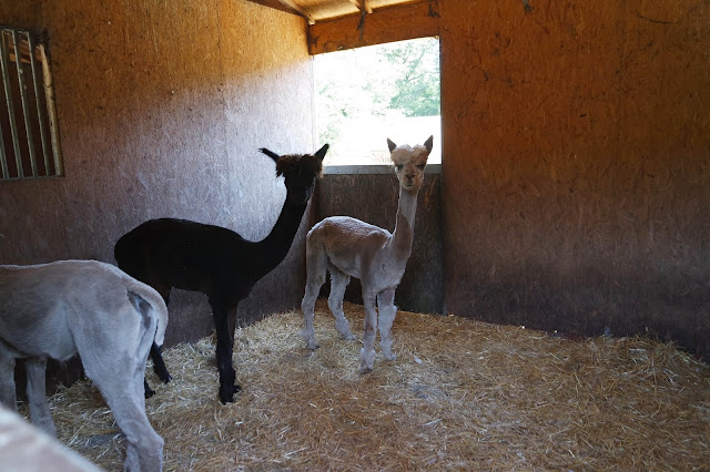 3 alpacas in their stable