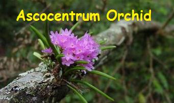 Ascocentrum Orchid Flower