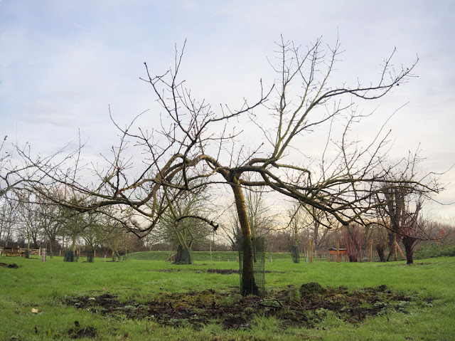 Single bare apple tree with background of similar trees in orchard