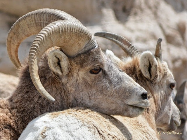 Bighorn Sheep (Ovis canadensis), South Dakota