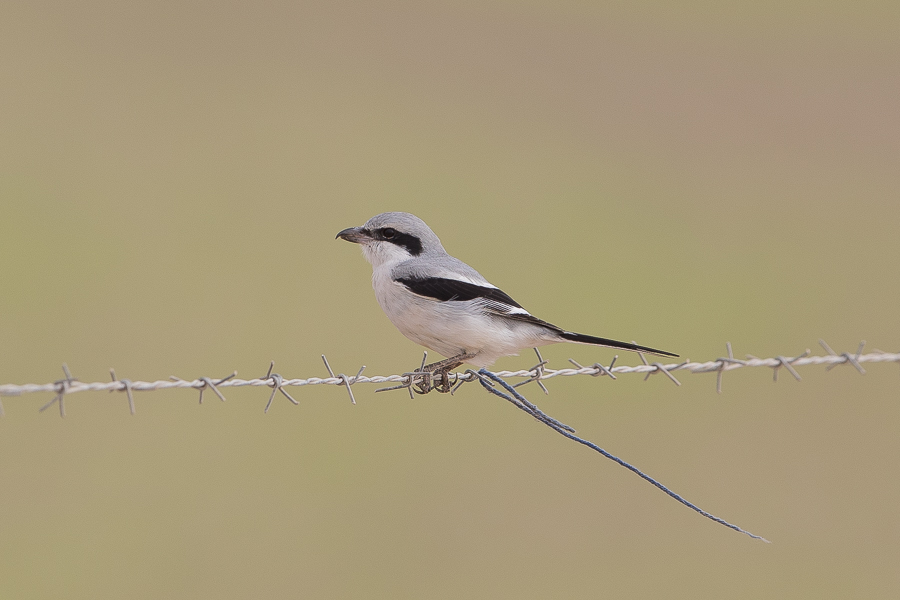 Arabian Grey Shrike