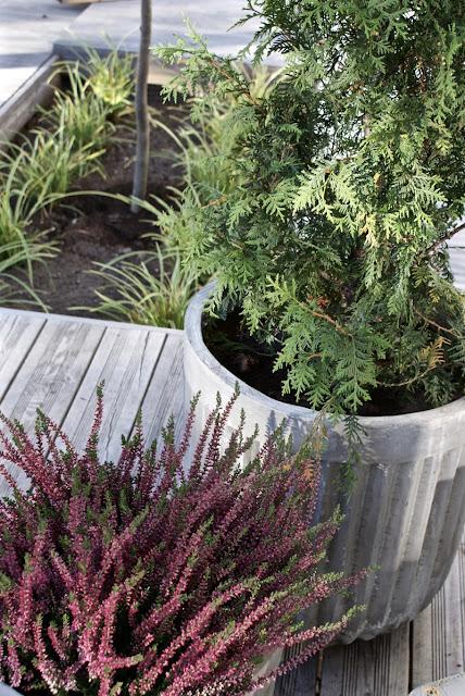 moderni piha, lehtikuusi, tuija, kääpiövuorimänty, japaninsara, kuunlilja, kivikko, puutarha, calluna