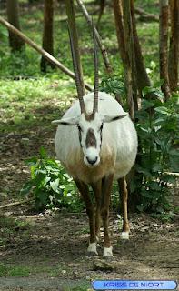 Oryx d'Arabie - Oryx leucoryx - Oryx blanc