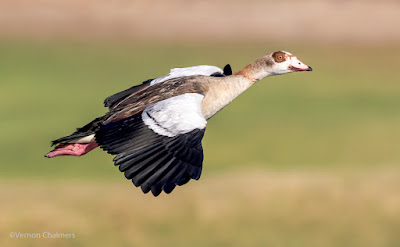 Egyptian Goose - Woodbridge Island CapeTtown
