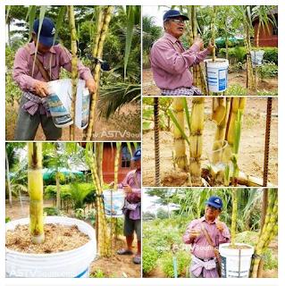 Cara Mudah Orang Thai Mendapatkan Air Tebu