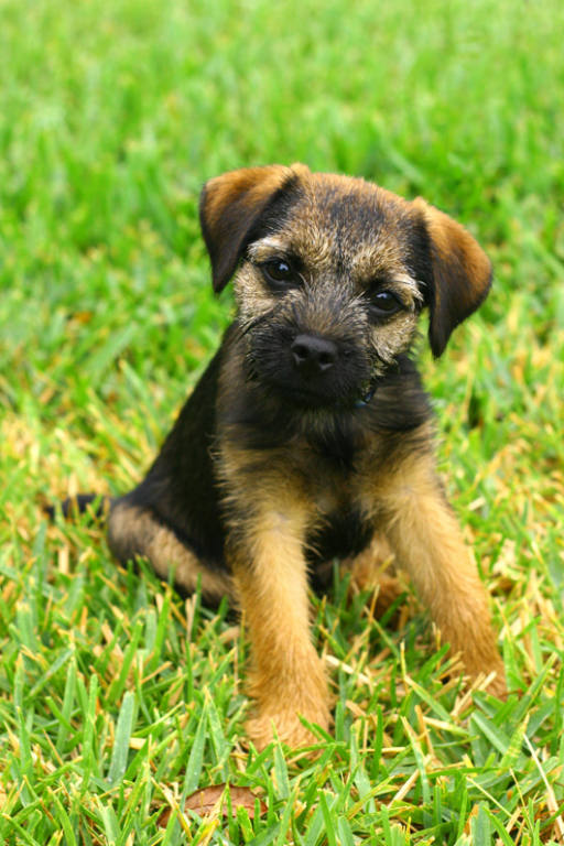 Cute Border Terrier desktop wallpaper