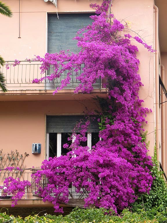 Flowered balconies seen from Villa Fabbricotti, Livorno