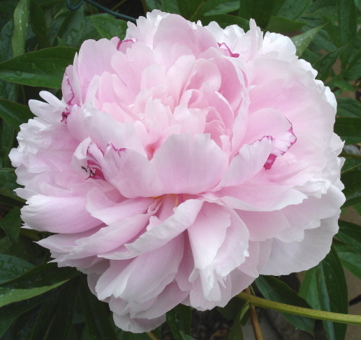 Flowers How To Plant The Peony Flower