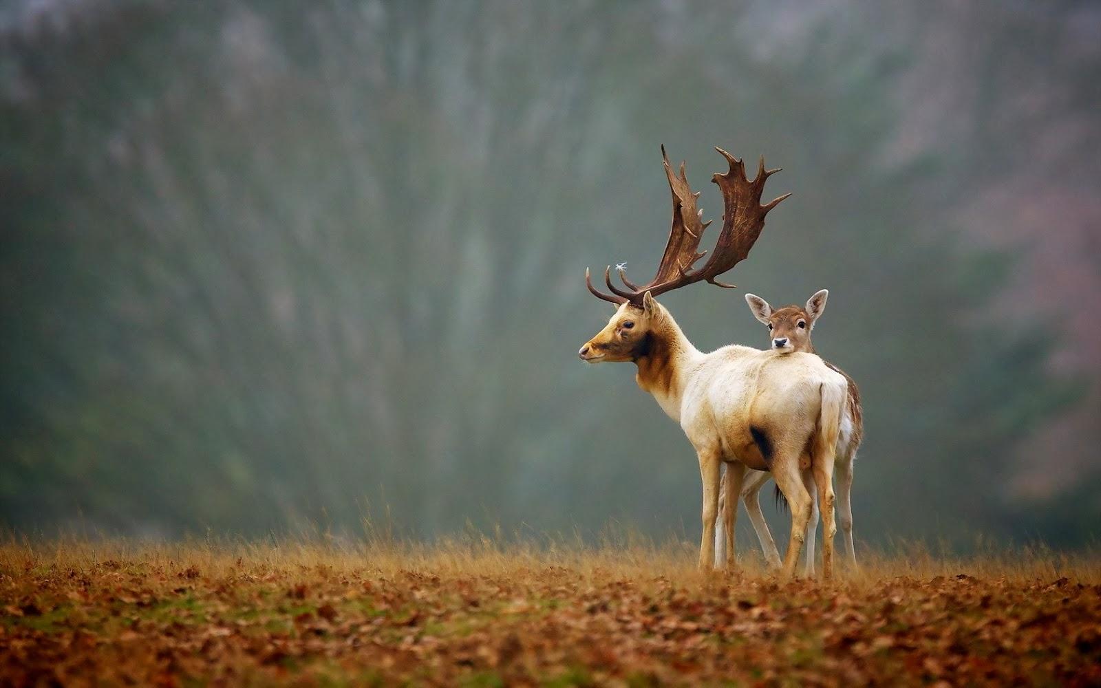 rusa-alam-musim gugur-mengagumkan-foto-wallpaper-1680x1050