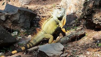 Leguan Thailand