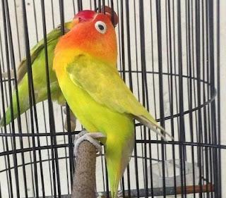 Tips Mencetak Lovebird Jantan Konslet Paling Akurat