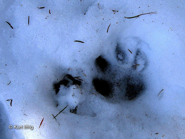 These a mountain lion tracks from a fairly large male. I was amazed to actually see him in the daytime.