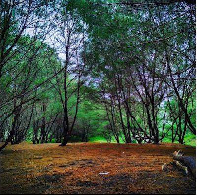 rute dan lokasi pantai goa cemara bantul yogyakarta, pantai unik dengan rimbunan pohon cemara 1