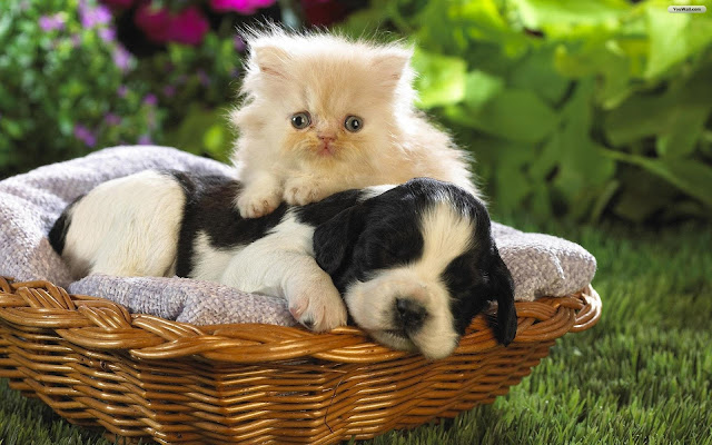 Cat and Dog Wallpaper 7
