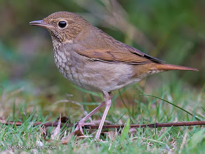 Rufous-tailed Robin - Larvivora sibilans