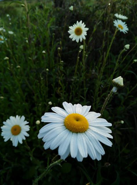 daisies, wild flowers, Galway Ireland