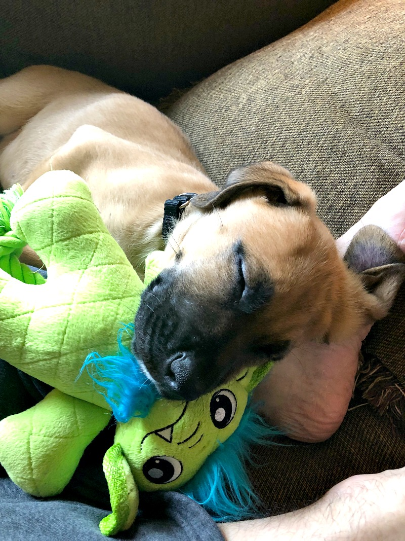 Boxer shepherd puppy sleeping with a green monster toy on a brown couch.