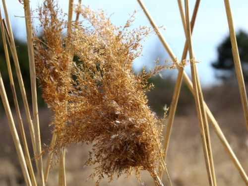 Phragmites australis australis