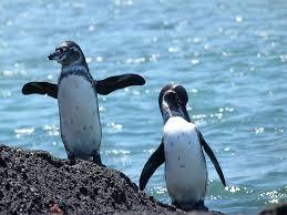 El Pingüino de las Galápagos