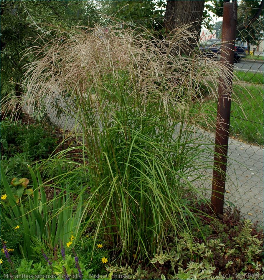 plant gallery encyklopedia ro lin miscanthus sinensis 39 graziella 39 miskant chi ski 39 graziella 39. Black Bedroom Furniture Sets. Home Design Ideas