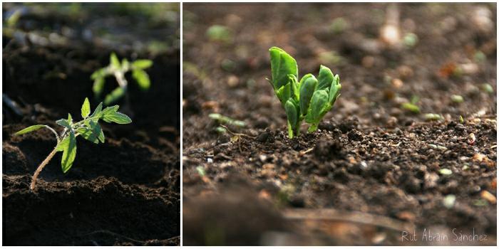composición planta de tomate pequeña y planta de guisantes germinando