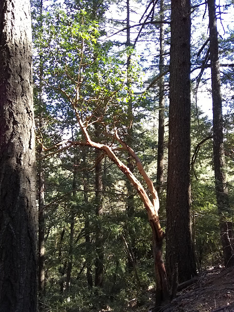 small madrone taking up the light that comes through the canopy