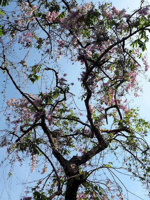 Tree with blossom in Phnom Penh, Cambodia