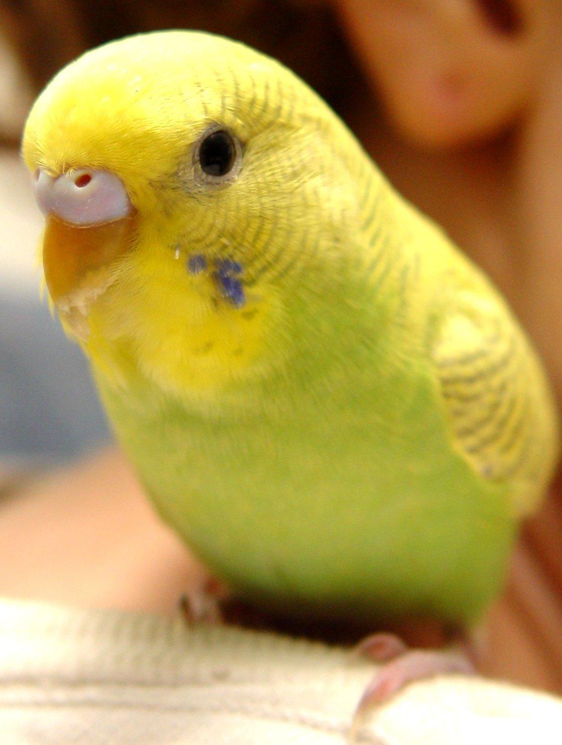 Muhabbet Kuşu Acil Yardım Ve Yardımlaşma Muhabbet Kuşu Irkları Ve