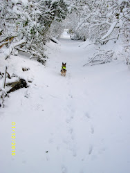 Bonny on her first snow walk.winter 2010 - 2011
