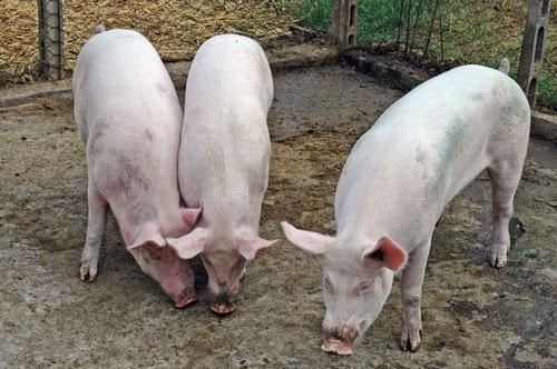 carne di maiale congelata uccide i parassiti