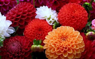 Nomes de flor para meninas - Dália (Foto: CoisasDaTerra)