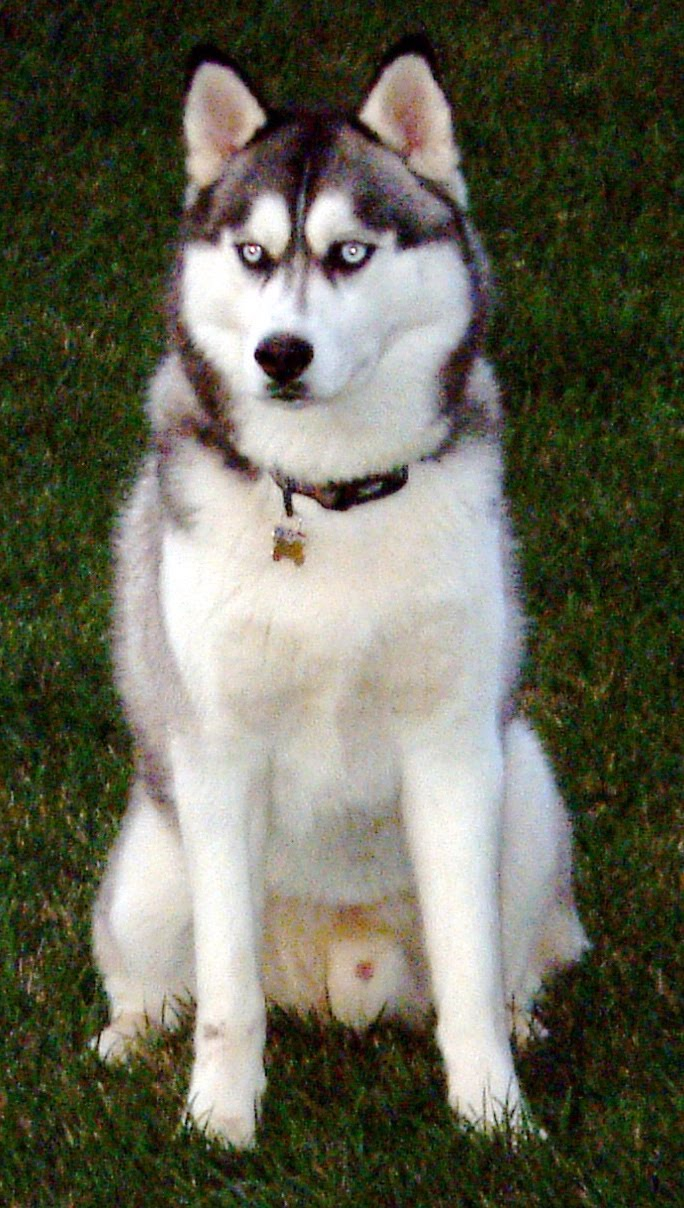 Difference Between The Alaskan Malamute With A Siberian Husky Fun