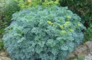 Και όμως υπάρχει! Αυτό είναι το φυτό που διώχνει τη γρουσουζιά, τη γλωσσοφαγιά και το κακό μάτι!