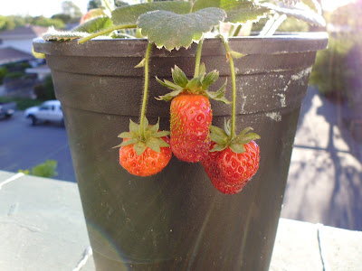 Strawberries ripened