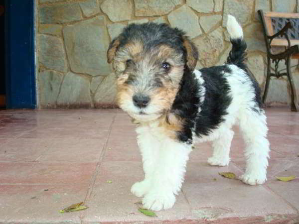 cachorra cruce fox terrier