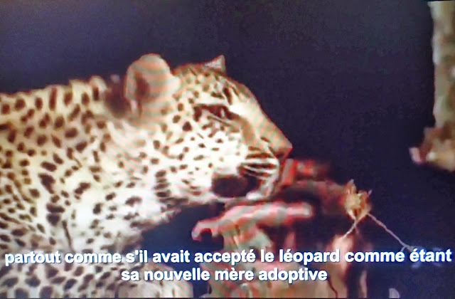 55b7997cb8674 Cette femelle léopard se prend d affection pour... par Gentside