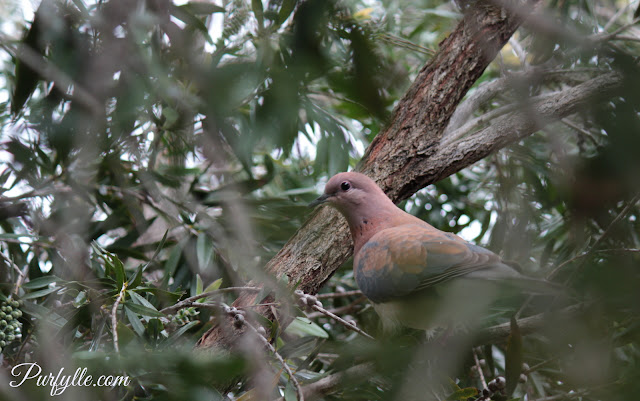 Laughing dove sitting on the nest with her second clutch for the breeding season