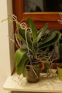 duży storczyk phalaenopsis