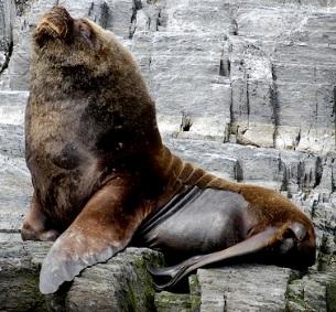 Foto de un lobo marino enorme