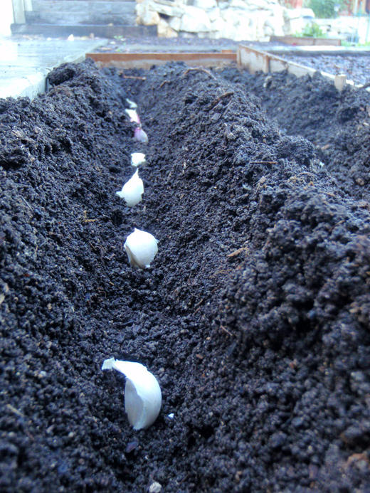 How To Grow Garlic Amp Tips On Planting Garlic