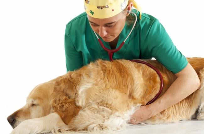 Reumatyzm u psów