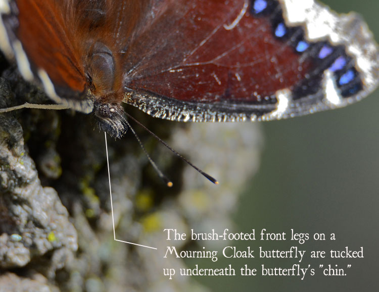 Close-up of the brush-footed front legs of a Mourning Cloak butterfly.