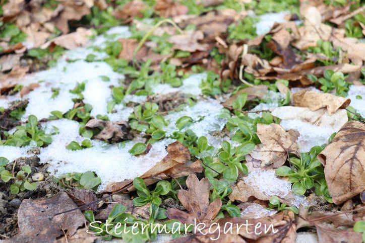 Vogerlsalat-Feldsalat-im-Winter-Steiermarkgarten