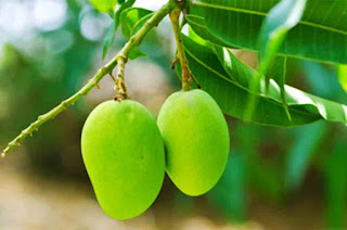 Benefits of Mango Leaves as Nedicine