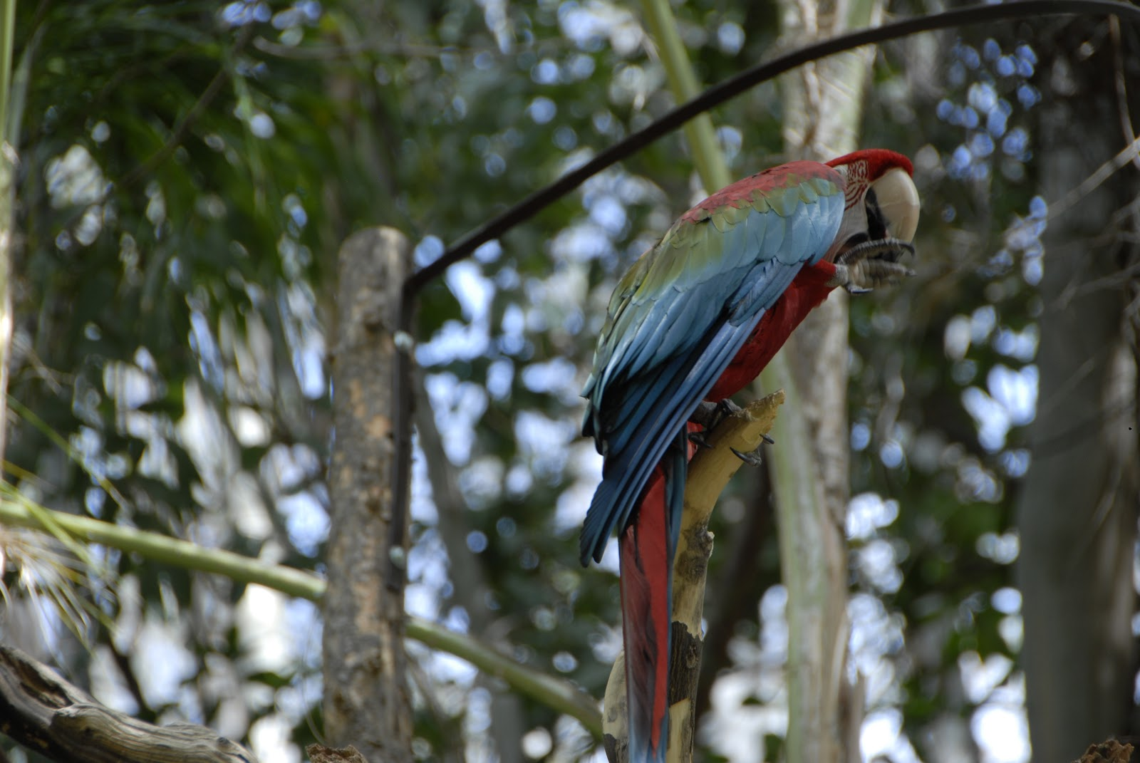blue-red parrot