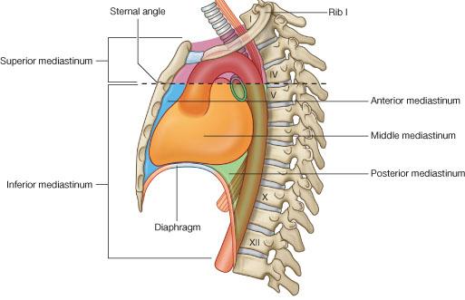 anterior mediastinum anatomy - photo #23