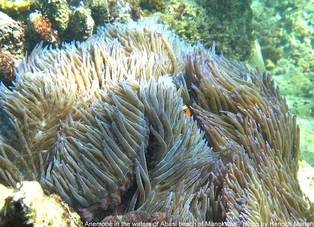 Snorkeling di Manokwari
