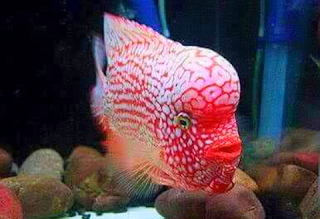 Jenis ikan louhan Super Red Texas