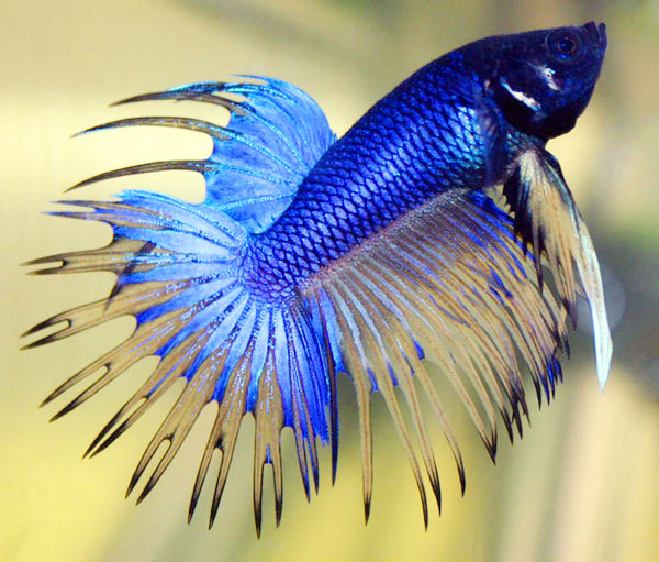 siamese fighter fish aka betta fish is one of the most popular variety
