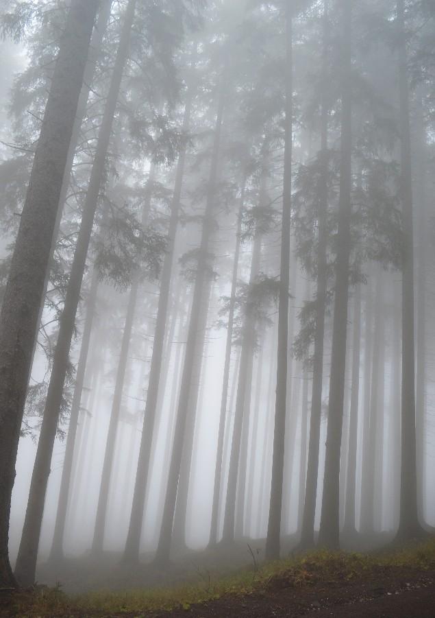 foresta dei violini